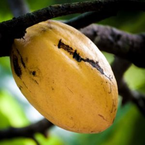 Cacao bean from a tree at the Eden Project