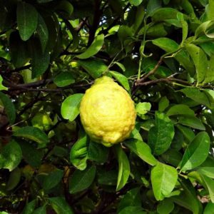 Citron from the Citrus Grove at The Eden Project